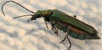 Antenas Insecto